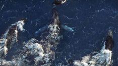 thehunt-ballenas-jorobadas