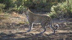 thehunt-leopardo