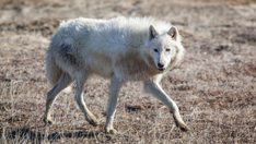 thehunt-lobo-artico