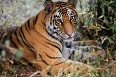 thehunt-tigre